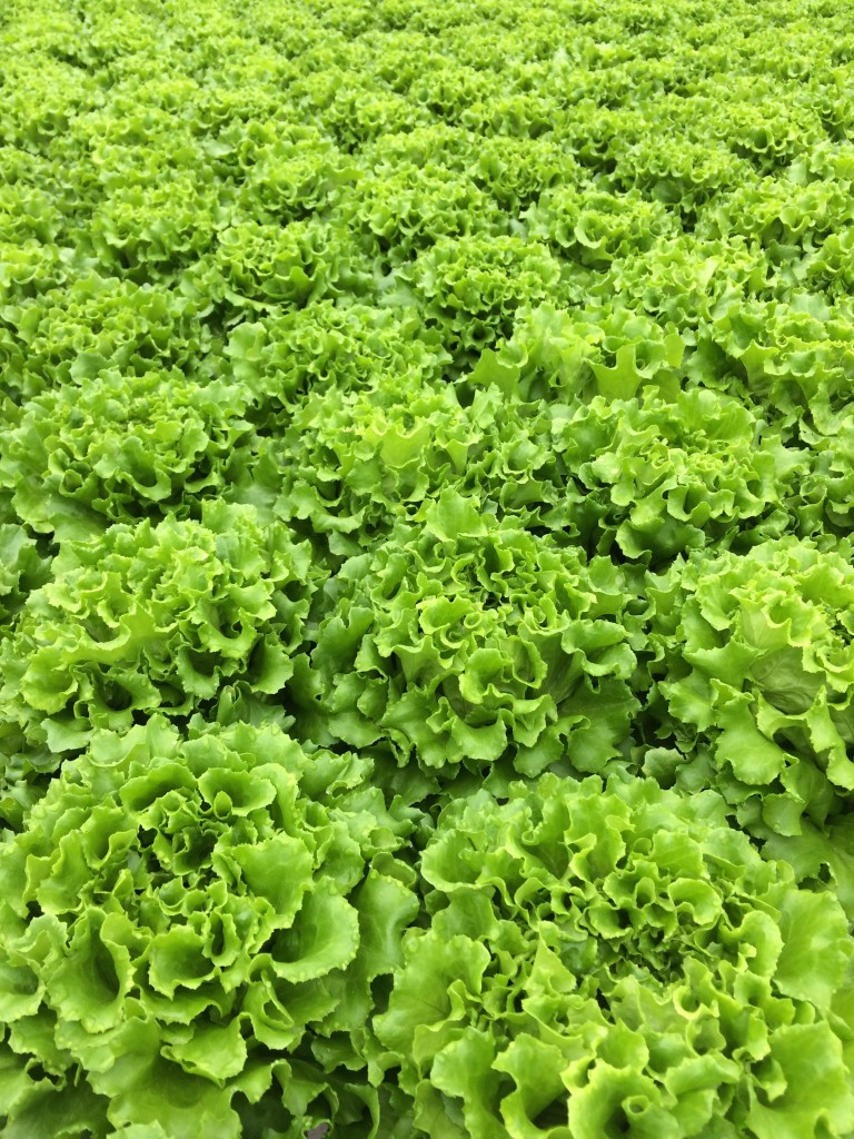 Gotham Greens lettuce from teeny tiny foodie