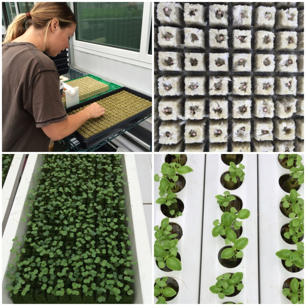 Planting seeds at Gotham Greens from teeny tiny foodie